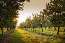 Cherries On Orchard Tree