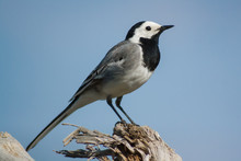 White Wagtail Bird Stay Close Up At Sun Day