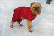 Dog  In  Clothes And Shoes