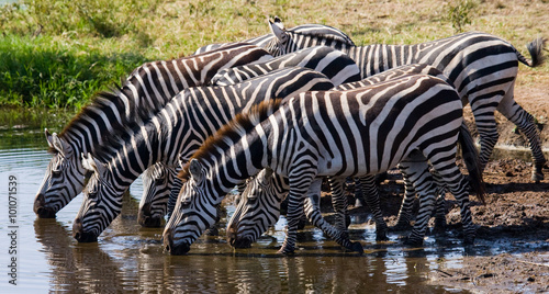 Aluminium Prints Bestsellers Group of zebras drinking water from the river. Kenya. Tanzania. National Park. Serengeti. Maasai Mara. An excellent illustration.