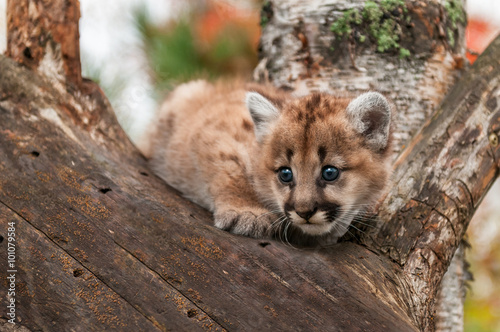 Fotobehang Puma Female Cougar Kitten (Puma concolor) Crouches in Tree