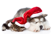 Alaskan Malamute Puppy And Maine Coon Kitten With Red Santa Hat