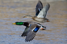 Pair Of Mallard Ducks Flying L...