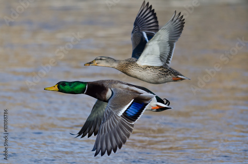 Photo  Pair of Mallard Ducks Flying Low Over the River