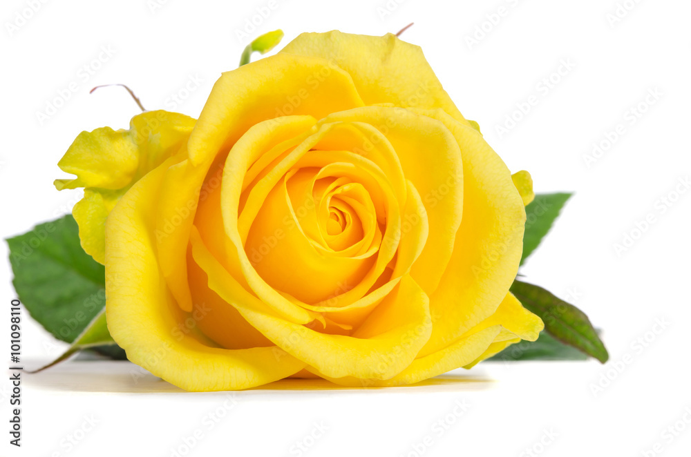 Yellow rose isolated on white background