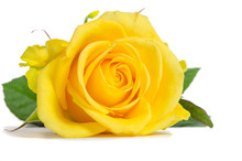 Yellow Rose Isolated On White ...