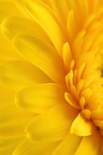 Yellow Gerbera Daisy Flower As A Background