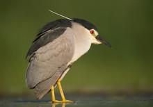 Black Crowned Night Heron Stan...