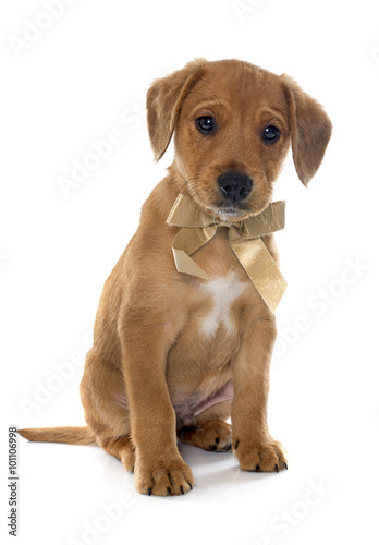 puppy labrador retriever Canvas Print