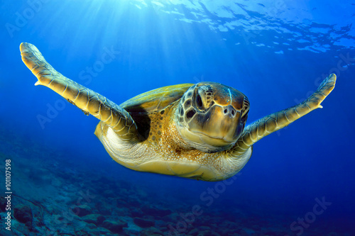 Fotografie, Obraz Flying green turtle