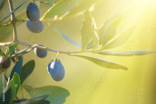 Tuinposter Olijfboom Olive tree with fruits, natural sunny agricultural food background