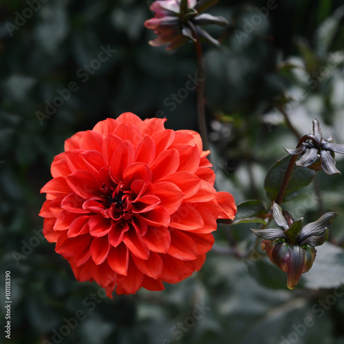 Poster de jardin Dahlia Flowers dahlia