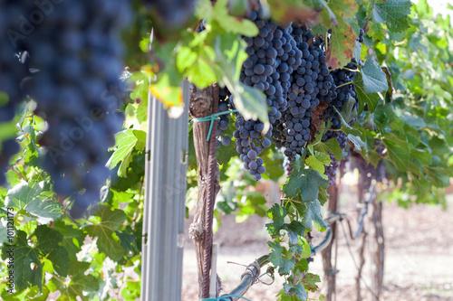 Tuinposter Wijngaard Vineyard harvest. Ripe grapes in fall