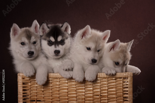 Photo  Four adorable Husky puppy in a basket