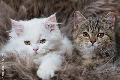 Fényképezés  Zwei Kätzchen