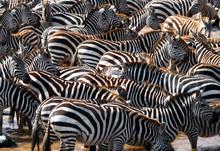 Big Herd Of Zebras Standing In Front Of The River. Kenya. Tanzania. National Park. Serengeti. Maasai Mara. An Excellent Illustration.