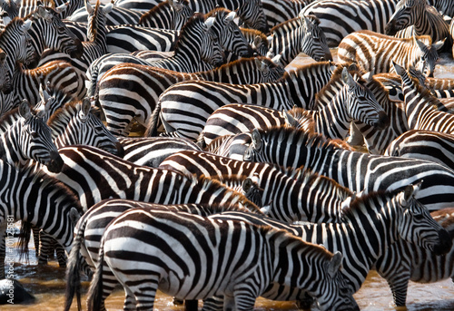 Poster de jardin Zebra Big herd of zebras standing in front of the river. Kenya. Tanzania. National Park. Serengeti. Maasai Mara. An excellent illustration.