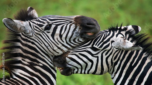 Poster Zebra Two zebras playing with each other. Kenya. Tanzania. National Park. Serengeti. Maasai Mara. An excellent illustration.