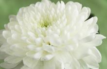 White Chrysanthemum Closeup
