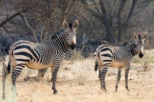 Obraz w ramie Cow And Kitten - Hartmann Mountain Zebra