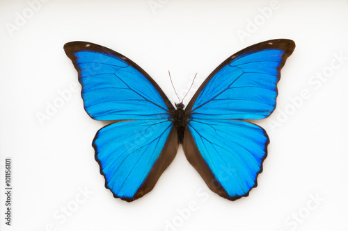 Valokuva  Beautiful blue butterfly, morpho didius,