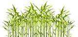 Fototapeta Bedroom - junge Bambuspflanzen vor weißem Hinterund