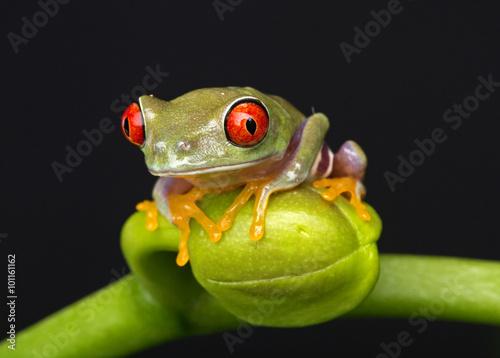 Tuinposter Kikker Tree Frog on Flower Bud