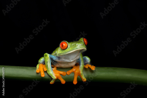 Tuinposter Kikker Tree Frog Sitting on Stem