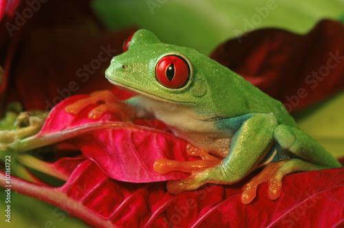 Staande foto Kikker Red Eyed Tree Frog on Colorful Foliage