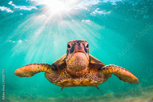 Foto op Aluminium Schildpad Endangered Hawaiian Green Sea Turtle cruises in the warm waters of the Pacific Ocean in Hawaii
