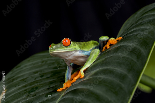 Tuinposter Kikker Red Eyed Tree Frog