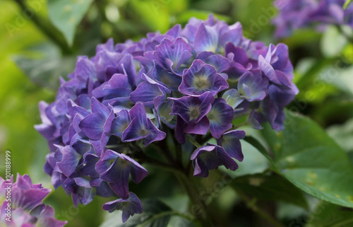 La pose en embrasure Nature hortensia