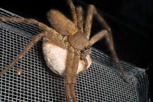 Female Huntsman Spider Holding...
