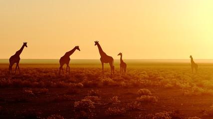 Herd of giraffes at sunrise