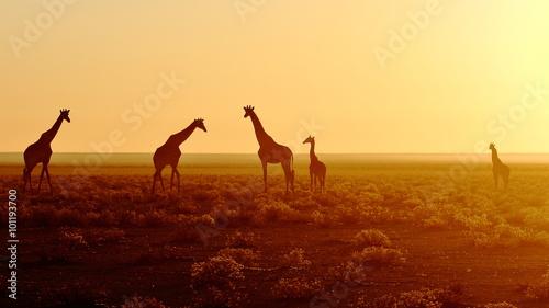 fototapeta na lodówkę Herd of giraffes at sunrise