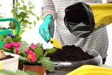 Fototapeta Kwiaty - Sadzenie kwiatów doniczkowych