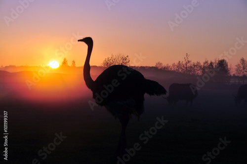Silhouette ostrich on sunset background