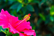 Close Pollen Pink Hibiscus.