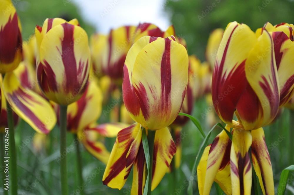 Obraz Tulipan fototapeta, plakat
