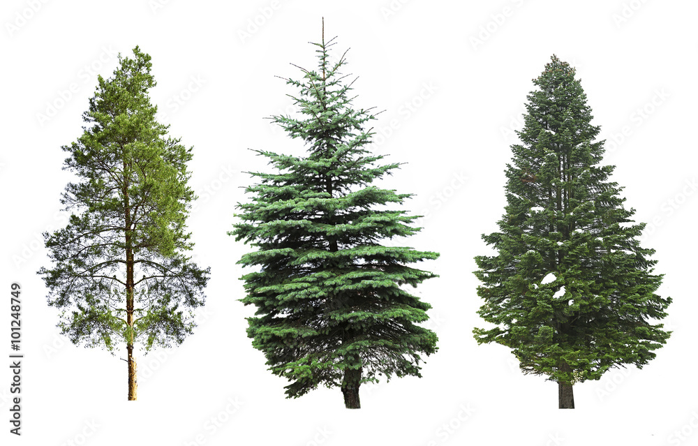 Fototapety, obrazy: Fir-trees, isolated on white
