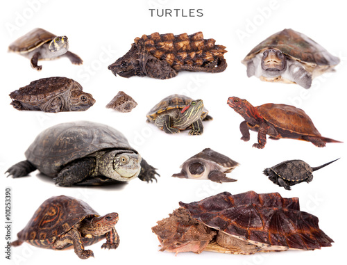 Poster Tortue Turtles set on white
