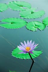 NaklejkaBlue water lily, lotus