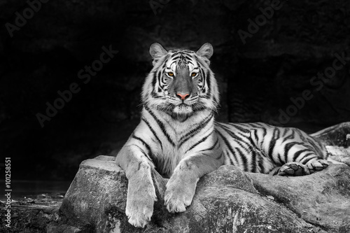 Papiers peints Tigre white tiger