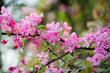 Beautiful apple tree flowers