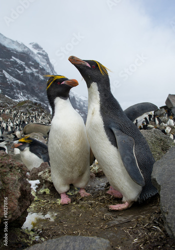 pair of macaroni penguins standing on the rock ready to mate with