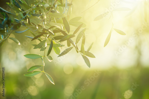 Olive tree with leaves, natural sunny agricultural food background