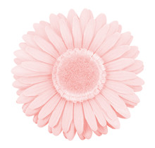 Single Isolated Fake Gerbera Flower, Pantone Color Of The Year 2016 Rose Quartz Pink