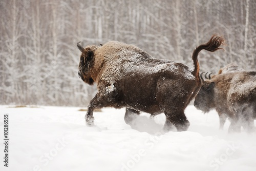 European bison running in Orlovskoye Polesie National park in Ru
