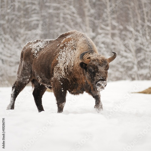 Mature male European bison in deep snow in Orlovskoye Polesie Na
