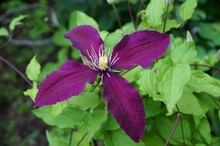 Dark Purple Single Clematis Flower With Four Petals On The Vine